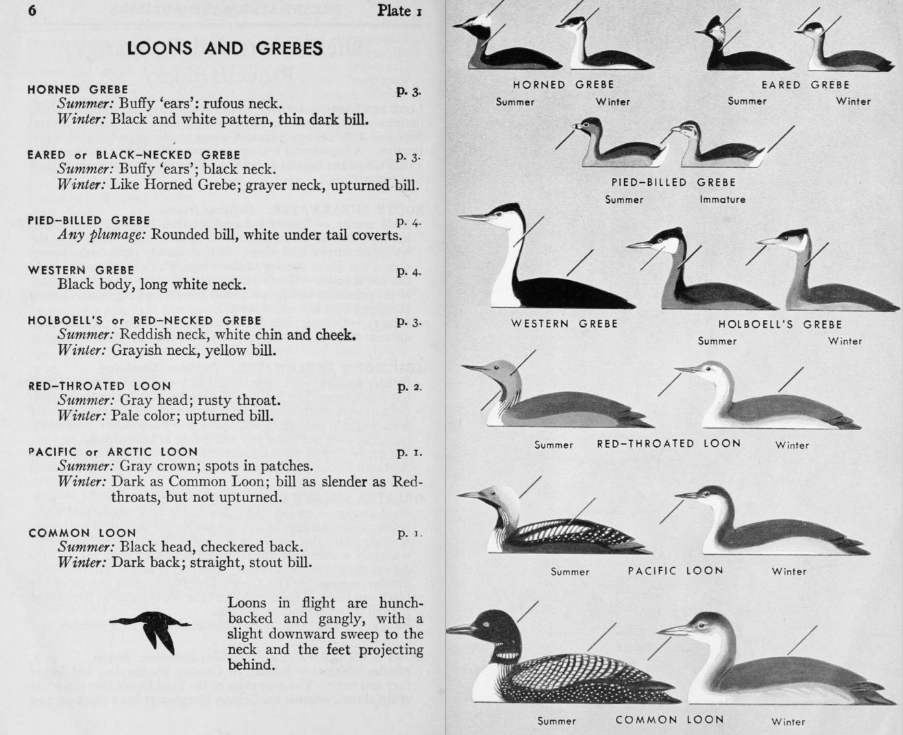 The Peterson Identification System From Roger A Field Guide To Birds 1934