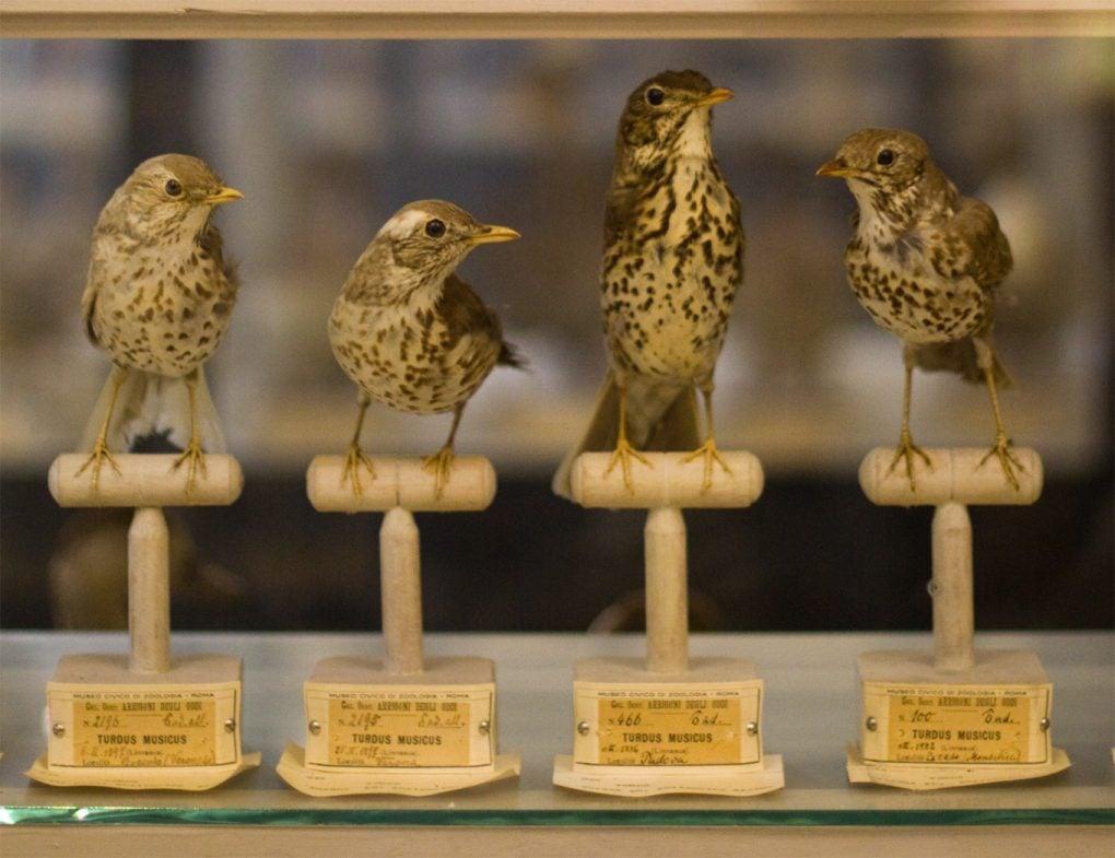 Bird collection at Museo Civico di Zoologia