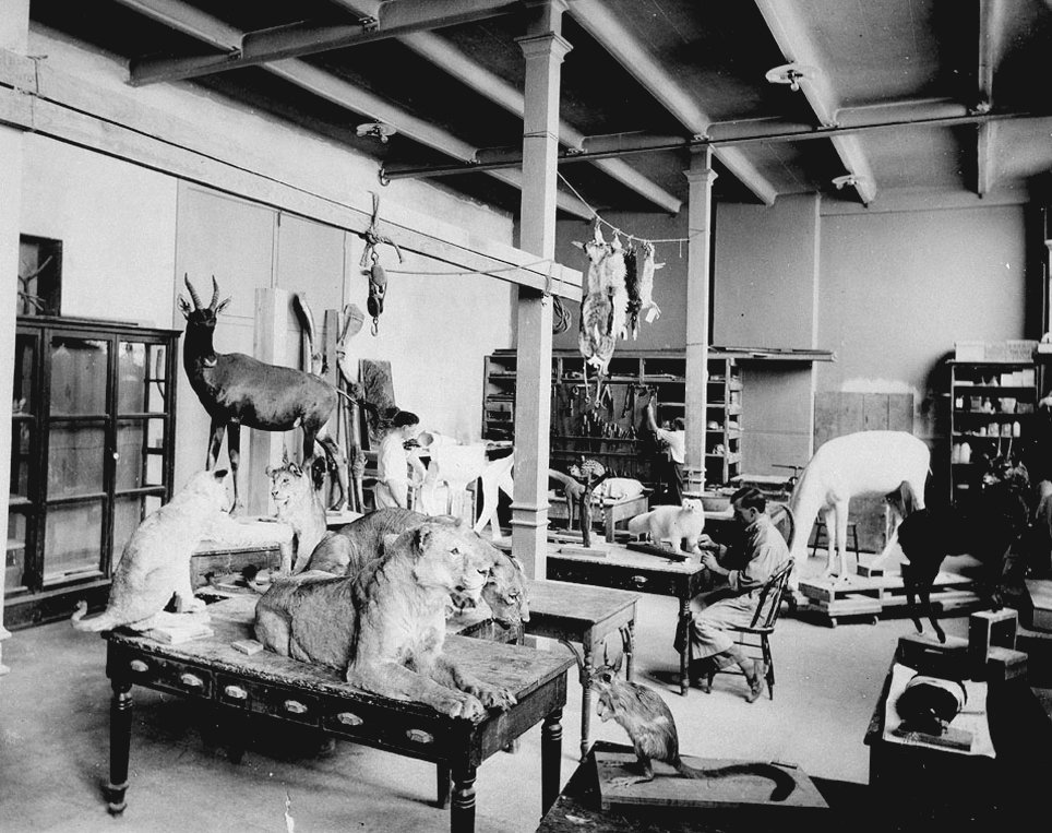 Taxidermy workroom, National Museum of Natural History, with specimens from President Theodore Roosevelt's African safari, ca. 1911.